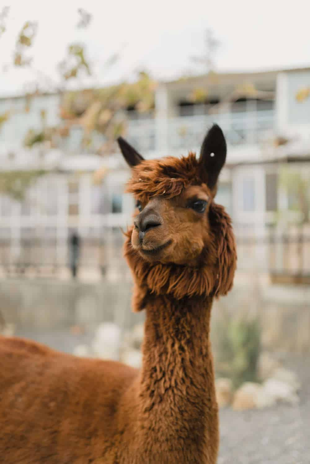an alpaca animal representing the Nashville Zoo at Grassmere